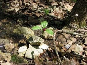 Trillium growing in dry creek bed