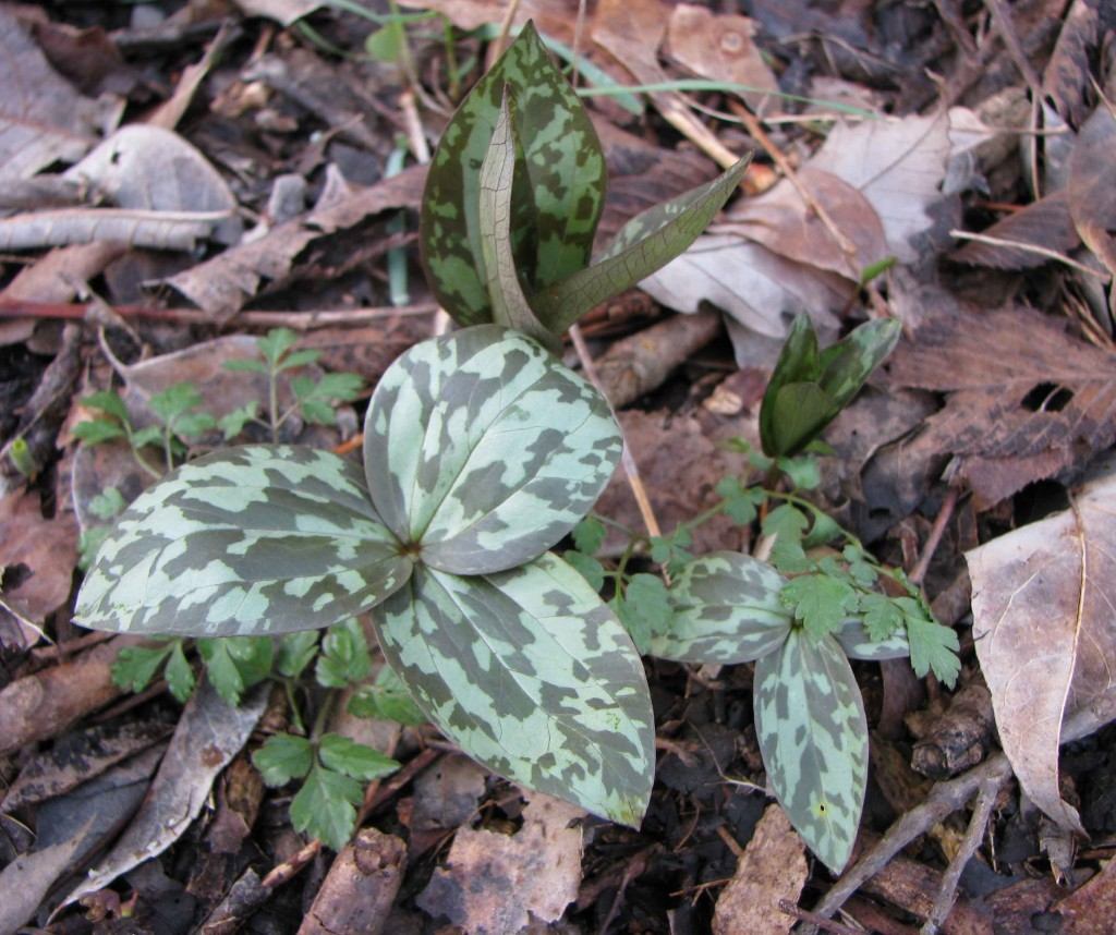 Trilliums March 21st