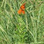 asclepias tuberosa with matching butterfly