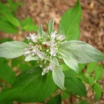 mountain-mint-flower-and-bracts-aug-1