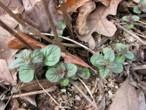Close up of Mountain Mint emerging March 17