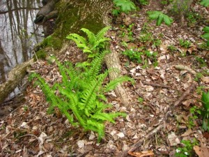 Ferns, May apples, Rue Anenome sharing the woods with Featherbells