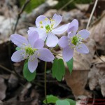 Thalictrum thalictroides3