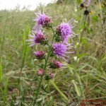Liatris aspera Rough blazing star1