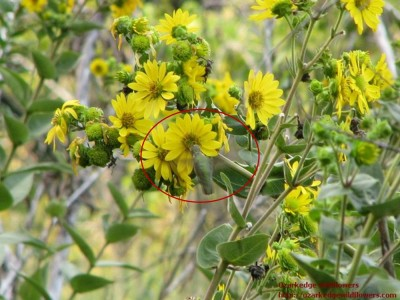 Silphium with hummingbird circled