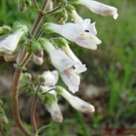 Penstemon pallidus03