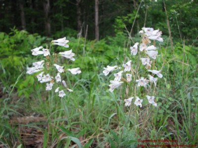 Penstemon pallidus06