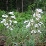 Penstemon pallidus1