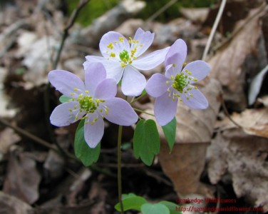 Thalictrum thalictroides1