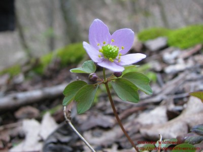 Thalictrum thalictroides17