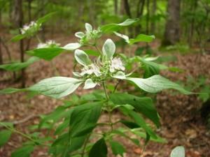 Whiteleaf Mountain Mint (Pycnanthemum albescens