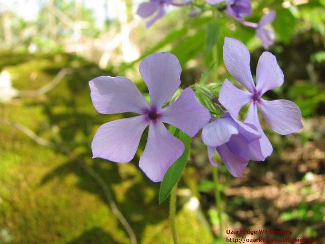 Woodland Phlox Phlox Divaricata Ozarkedgewildflowers Com